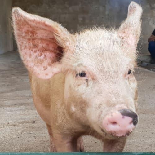 Pedro Pig -  Pig