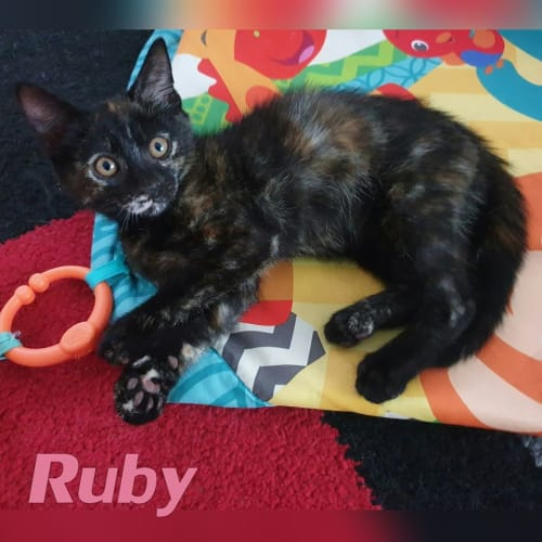 Ruby - Domestic Short Hair Cat
