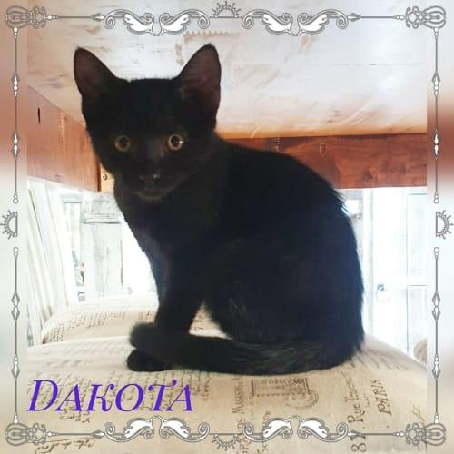 Dakota - Domestic Short Hair Cat