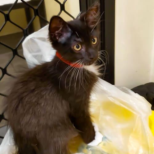 Tony - Domestic Medium Hair Cat