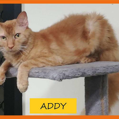 Addy - LaPerm Cat