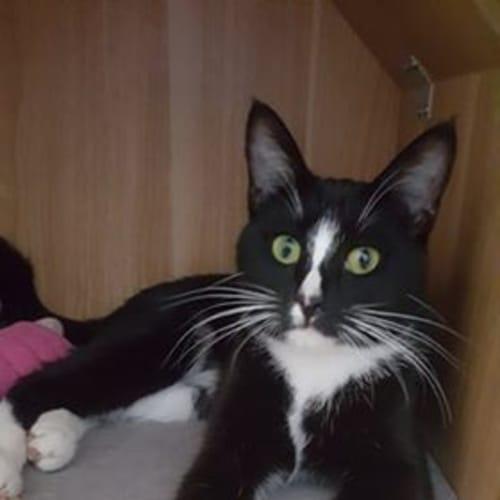 Arabella - Domestic Short Hair Cat