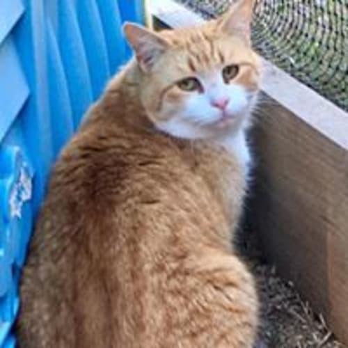 Barney - Domestic Short Hair Cat