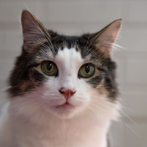 Penelope Earnshaw - Domestic Short Hair Cat