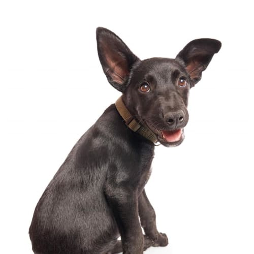 Gonzo - Border Collie x Kelpie Dog