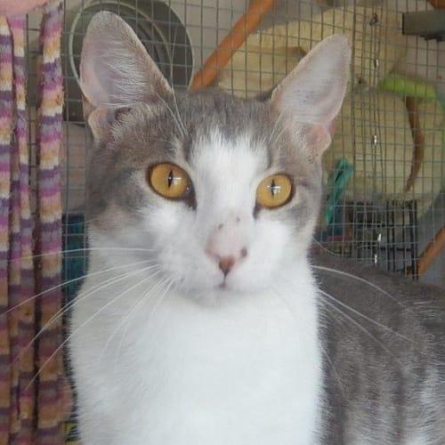 Jackson - Domestic Short Hair Cat