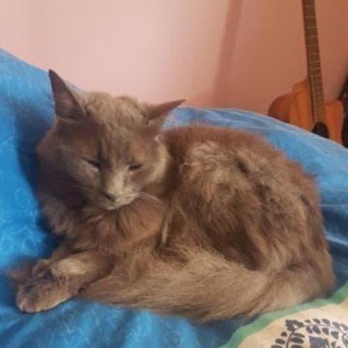 Phoenix - Domestic Medium Hair Cat