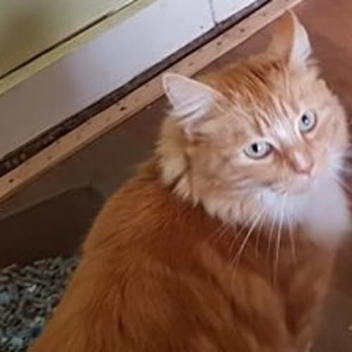 Meg - Domestic Medium Hair Cat