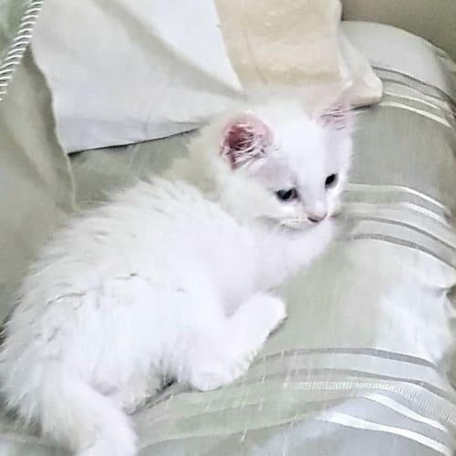 Frosty - Domestic Long Hair Cat
