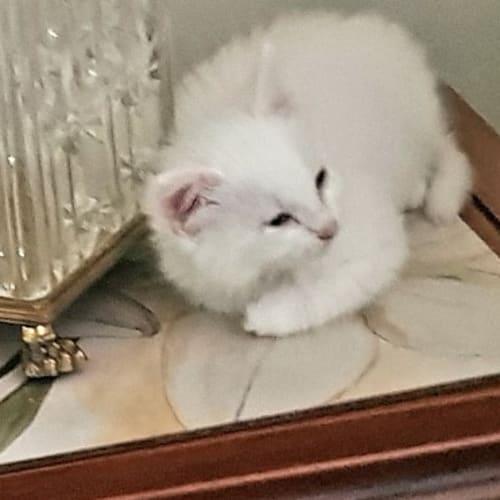 Silver - Domestic Long Hair Cat