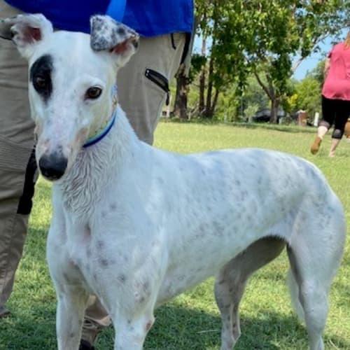 Dottie - Greyhound Dog