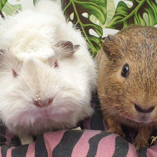 Honks & Hyde - Abyssinian Guinea Pig
