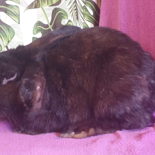 Black Beauty - Flemish Giant x Mini Rex Rabbit