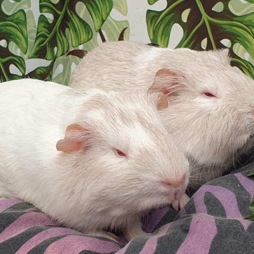 Luka & Lori - Smooth Hair Guinea Pig
