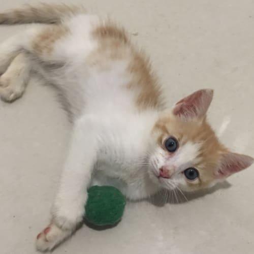 Chilli - Domestic Short Hair Cat