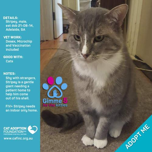 Stripey - Domestic Short Hair Cat