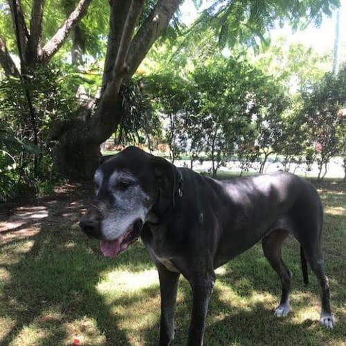 Dolly & Dagger - Greatdane Dog