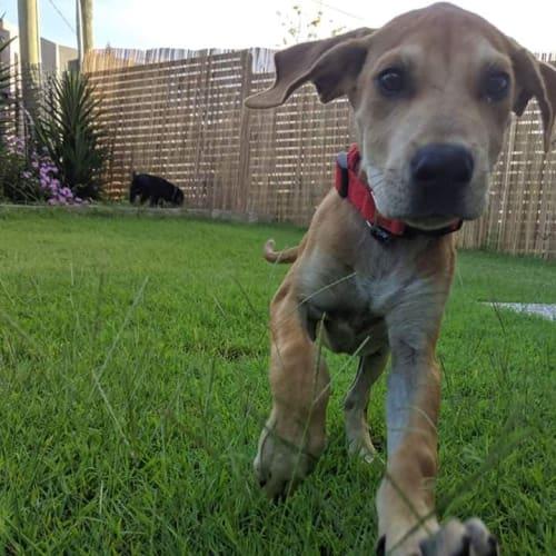 Alfred - Great Dane Dog