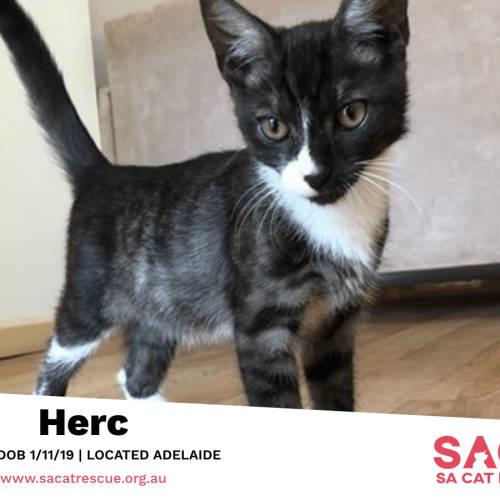 Herc - Domestic Short Hair Cat