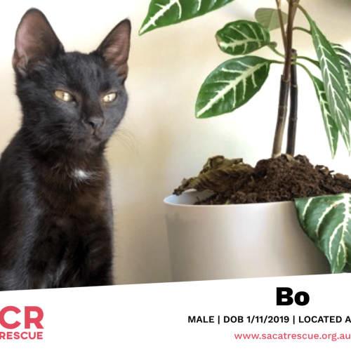 Bo - Domestic Short Hair Cat