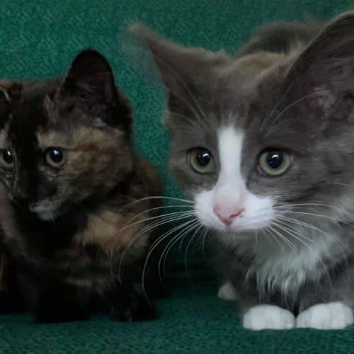 Anastasia & Matilda ❤❤ - Domestic Short Hair Cat