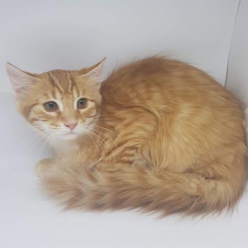 Sebastian - Domestic Short Hair Cat