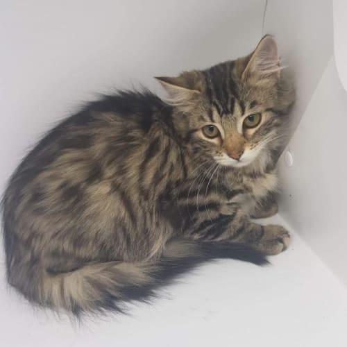 Alana - Domestic Short Hair Cat