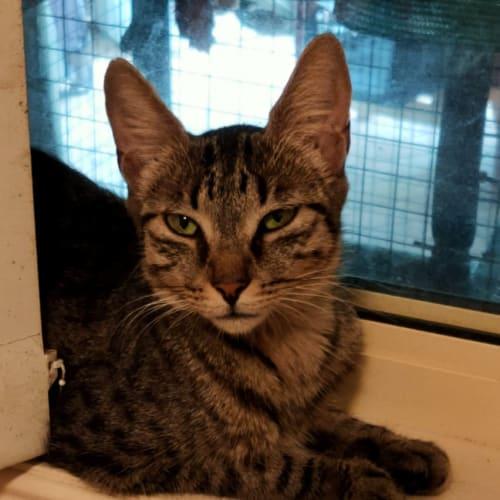 Beatrice - Domestic Short Hair Cat
