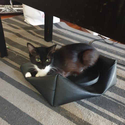 Minnie - Domestic Medium Hair Cat