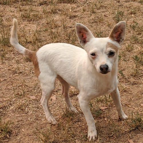 Diesel  - Chihuahua Dog