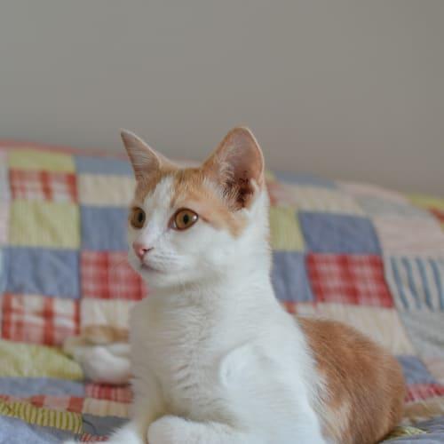 KC - Domestic Short Hair Cat