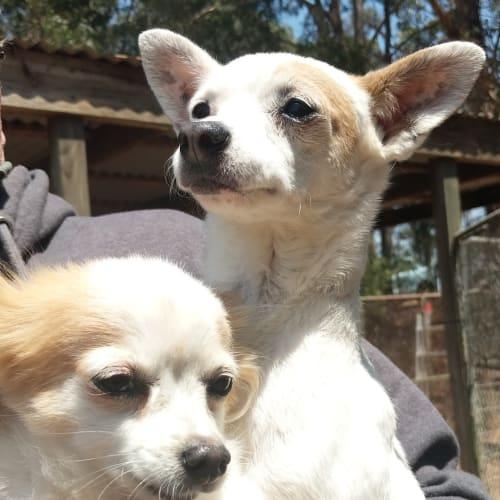 Chichi - Chihuahua Dog