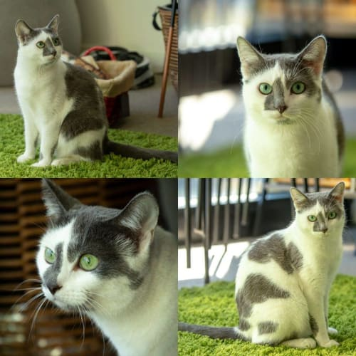 2032 – Rahlia - Domestic Short Hair Cat