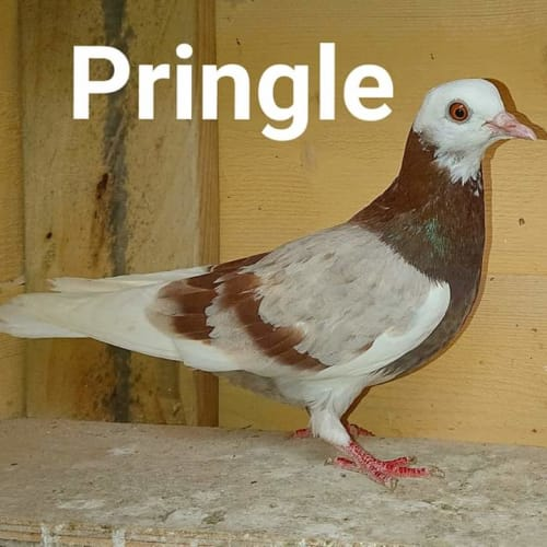 Pringle -  Bird