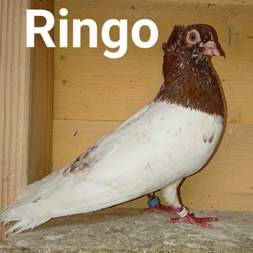 Ringo -  Bird