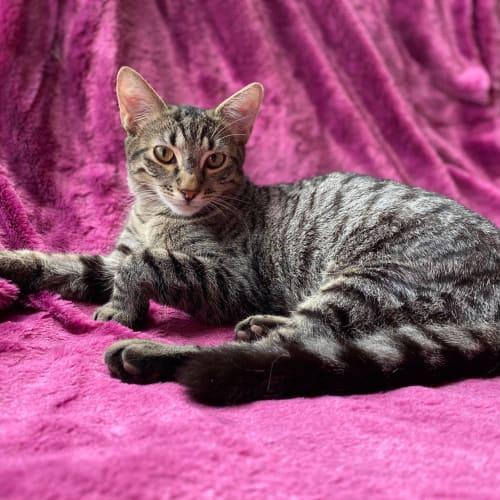 Timber - Domestic Short Hair Cat
