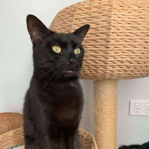 Renley - Domestic Short Hair Cat