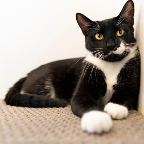 1801 - Marshall - Domestic Short Hair Cat