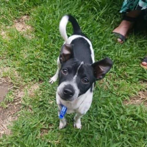 Milo ~ 6mo Chihuahua x Foxie puppy - Chihuahua x Miniature Fox Terrier Dog