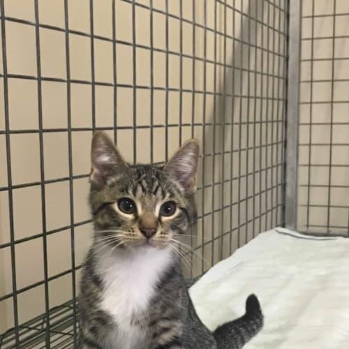 Edward - Domestic Short Hair Cat