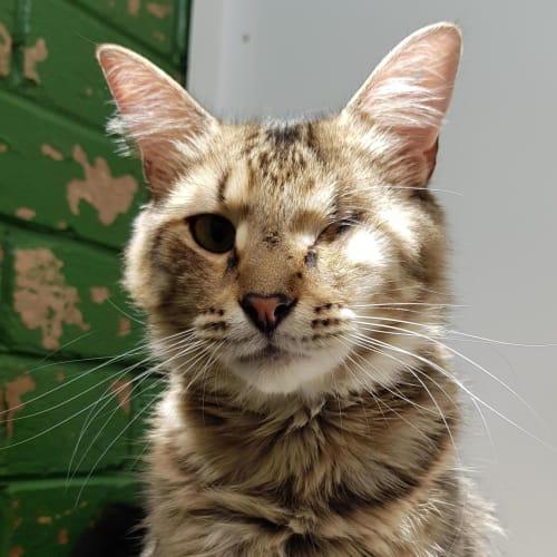 Horatio ID46685 - Domestic Medium Hair Cat