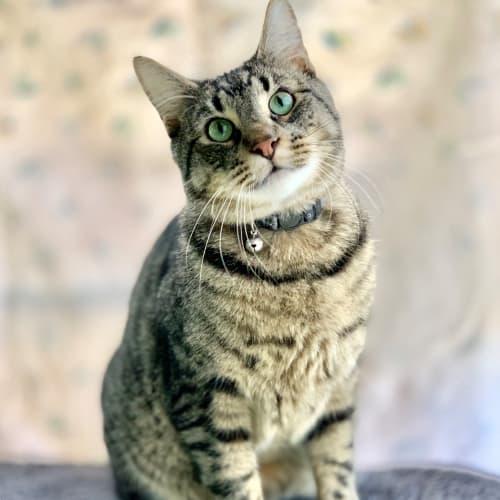 Pip ID46686 - Domestic Short Hair Cat