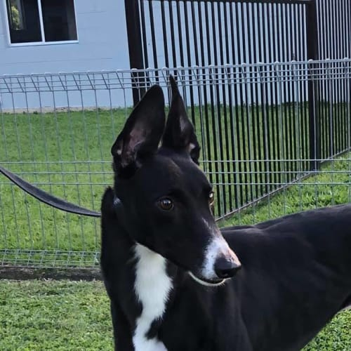 """Butchulla Magic """"Monty"""" - Greyhound Dog"""