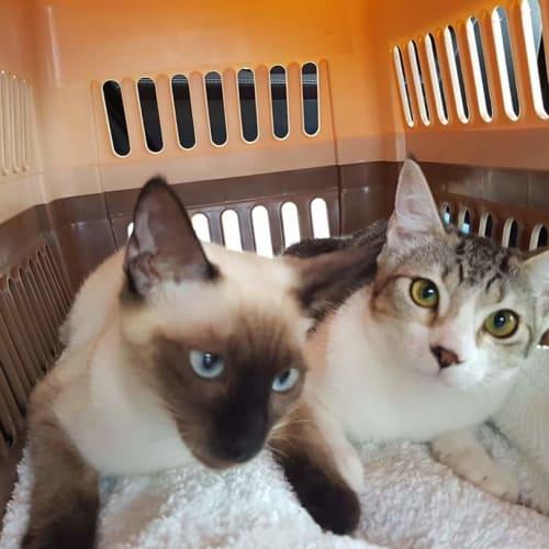 Pandora and Tabitha  - Domestic Short Hair Cat
