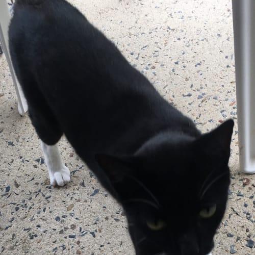 Albert - Domestic Short Hair Cat
