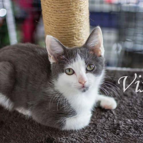 Vixen - Domestic Short Hair Cat