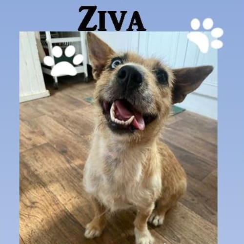 Ziva ~ Koolie x Australian Terrier, 1yo, female - Koolie Dog