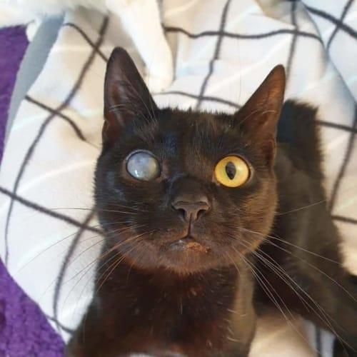 Pingu - Manx Cat