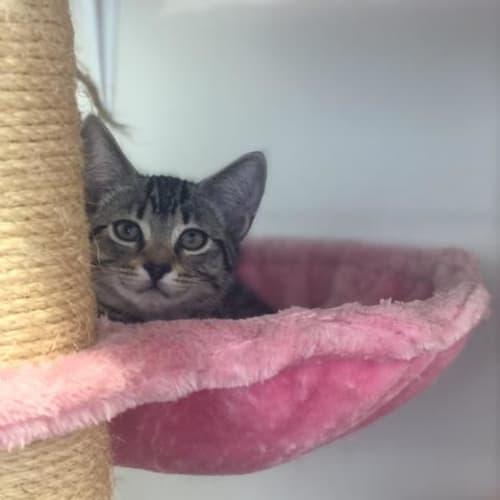 Sprinkles - Domestic Short Hair Cat