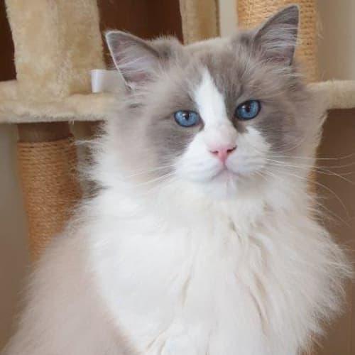 Thomas - Ragdoll Cat